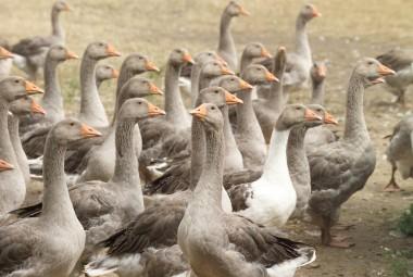 Élevage des oies grise en pleine air, avec de l'herbe et du grain.