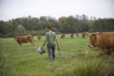 Pâturage des vaches limousines avec l'éleveur.