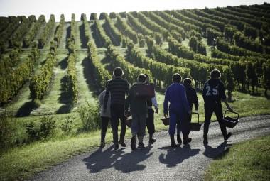 École de viticulture et d'œnologie. Étudiants en bac pro commerce œnologie participant à un cours de vendange et de vinification.