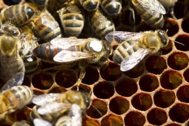 Elevage d'abeilles dans des ruches sur la miellée de lavandes. Une reine autour des abeilles.