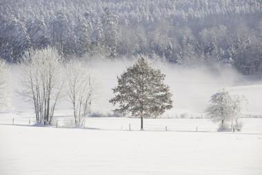 Paysage enneigé. Arbres givrés en lisière d'une forêt de sapins.