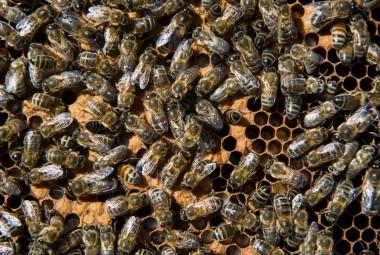 Abeilles stockant miel et pollen dans les alvéoles d'une ruche.