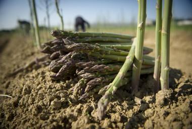 Récolte d'asperges vertes biologiques.