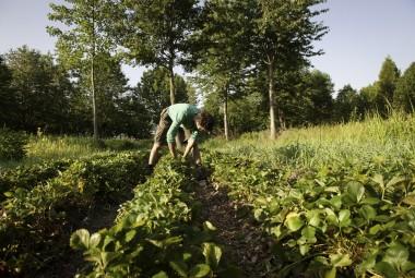 Cultures maraîchères biologiques en agroforesterie. Récolte de fraises.