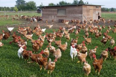 Poules en plein air, devant une poulailler. Aviculteur biologique, élevage de volailles et œufs.